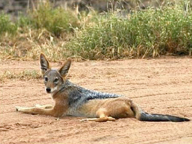 Black-backed Jackal: (Canis mesomelas - 259)