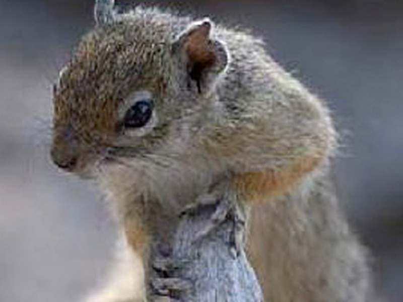 Bushveld squirrel: (Paraxerus cepapi - 145) Also known as a tree, or yellow-footed squirrel