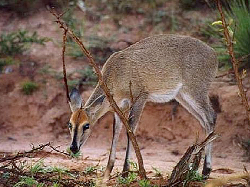 Common Grey Duiker: (Sylvicapra  campestris - 313)