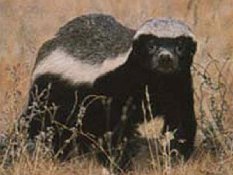 Honey Badger: (Mellivora capensis - 262)