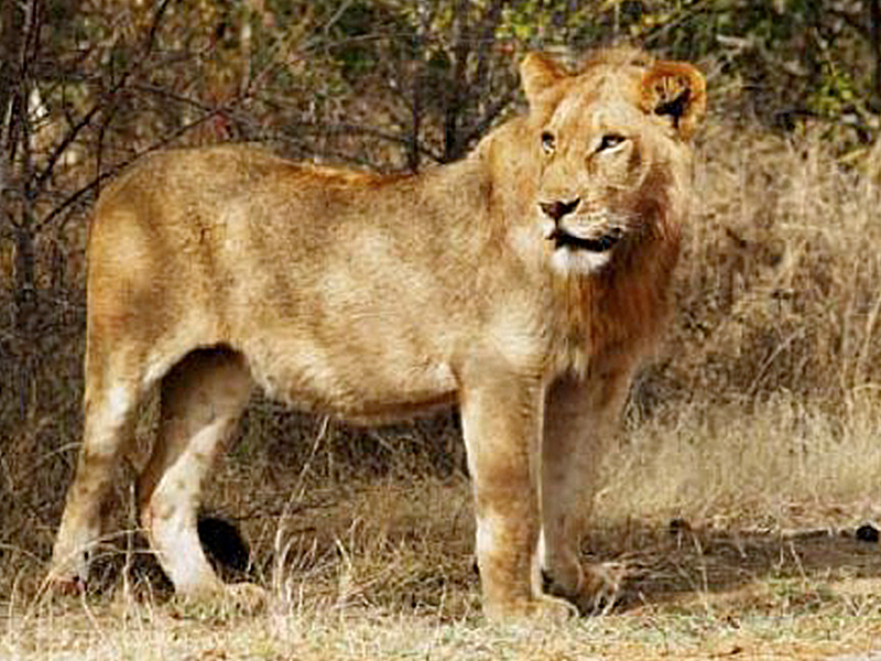 Lion: (Panthera leo - 249)