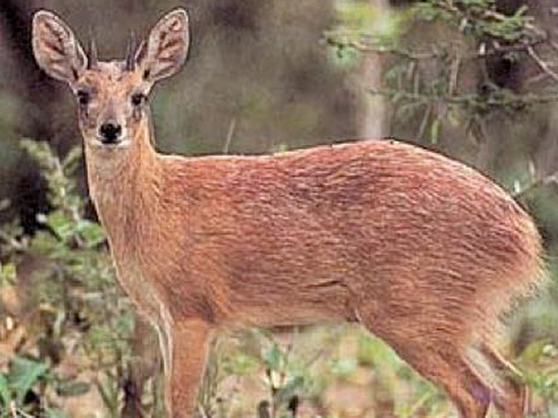 Sharpes Grysbok: (Raphicerus sharpie - 320)