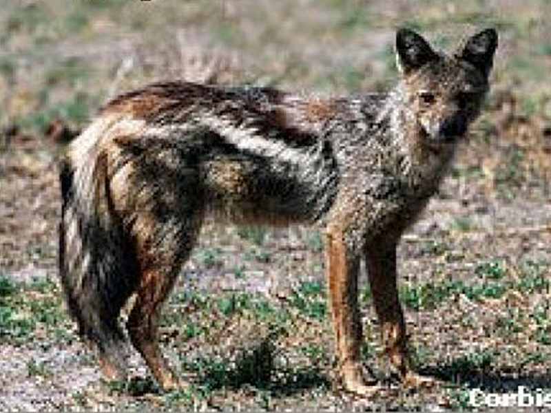 Side-striped Jackal: (canis adustus - 258)